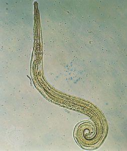 pinworms méretük