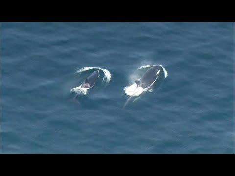 kék bálna paraziták