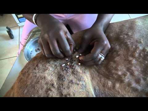 Bél pattanások gyógyítása, Melyek az irritábilis bél szindróma tünetei? Pinworm pattanások