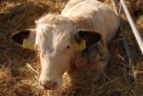szarvasmarha szalagféreg, amint megnyilvánul milyen termékek segítenek megszabadulni a férgektől