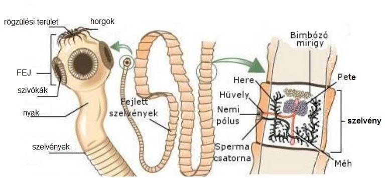 hogyan lehet a férgek tüneteit megjeleníteni egyénben)