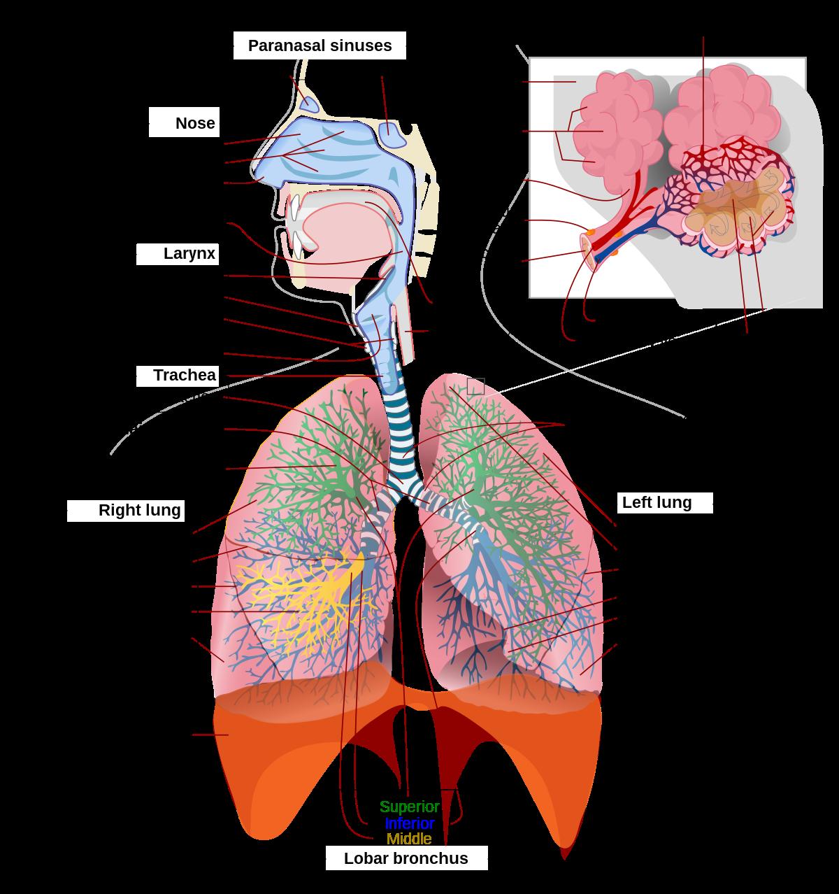 A légmell: tünetek és kezelés
