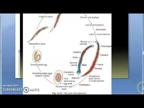 pinworms nemesítési ciklus