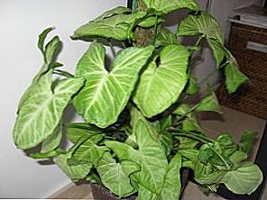 syngonium paraziták