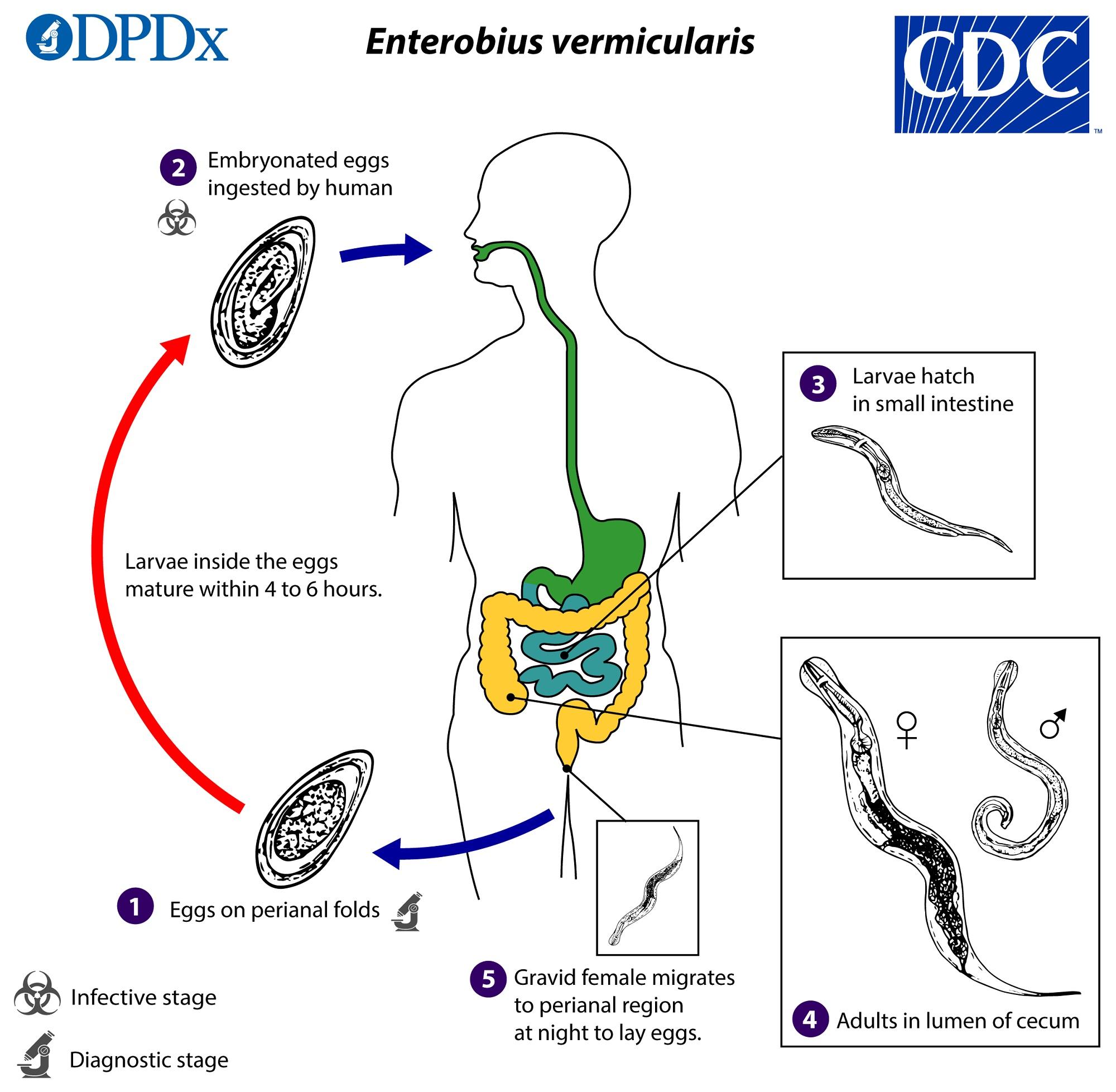 paraziták a tüdőben okozzák fekete ribizli paraziták
