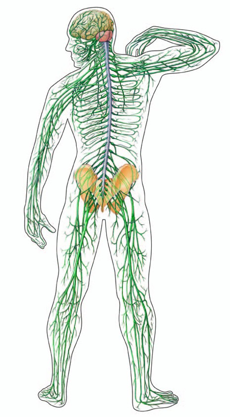 emberi gombaférgek reproduktív szervei