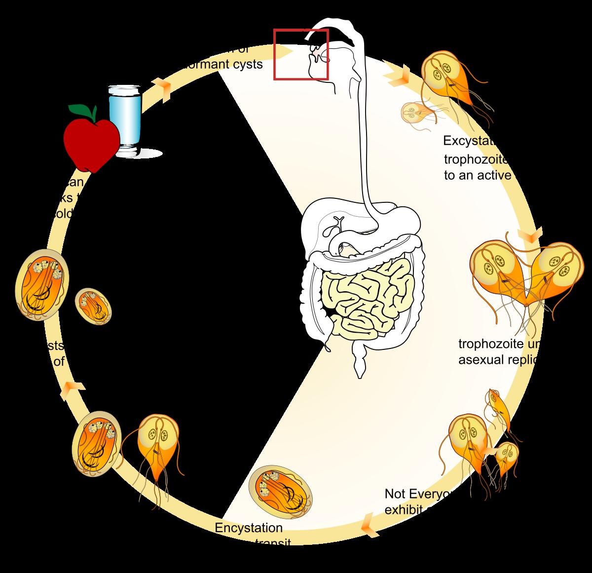emberi paraziták komplex gyógymódja