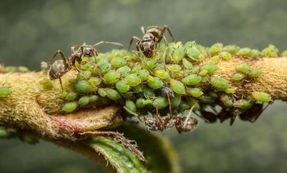 parazita lovas levéltetvek elleni védekezés céljából