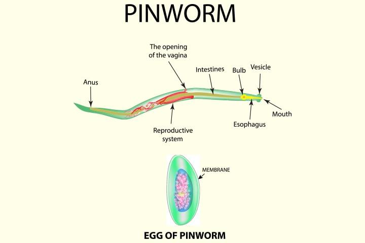 pinworm az élőhelyét liana parazita a fán