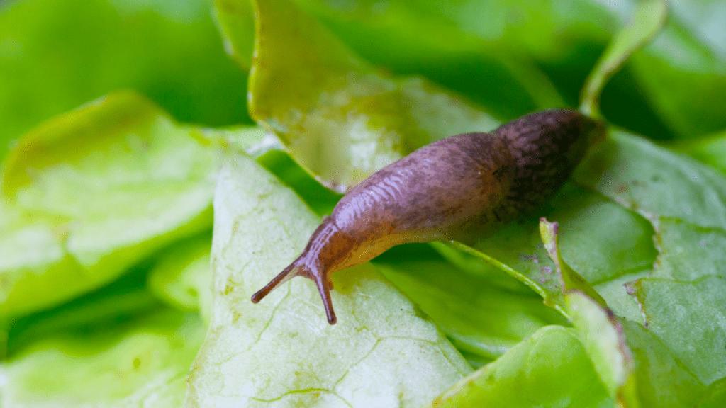 meztelen parazita rossz lehelet orrszeptum