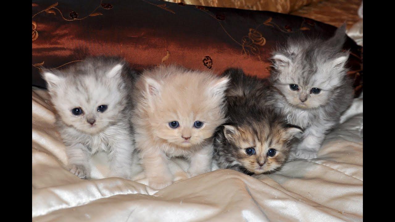 hogyan lehet megszabadulni a parazitáktól egy macska számára parazitákról az első csatorna