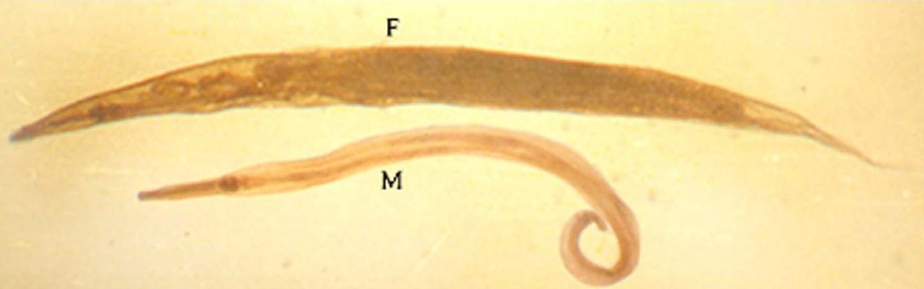 pióca és paraziták parazita táplálás