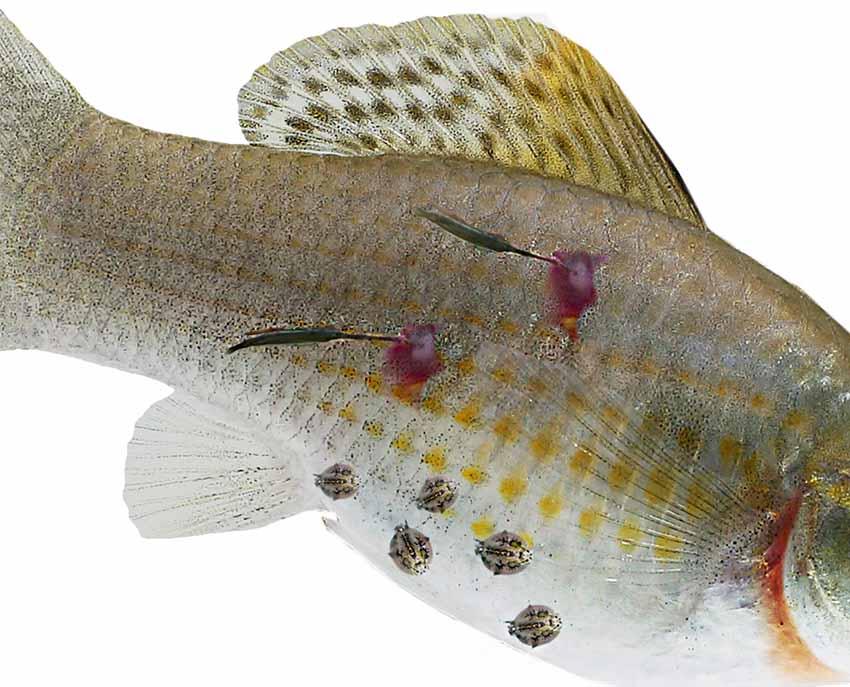 pióca parazita vagy Ascaris, ahol fejlődik