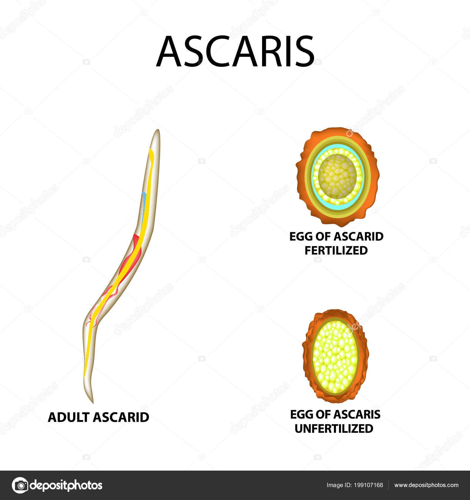 ascaris jelei egy személyben