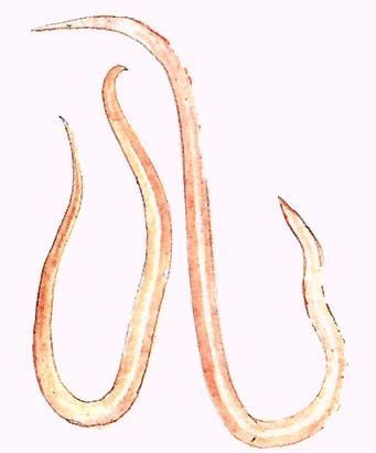 szarvasmarha galandféreg elleni szerek paraziták az ember tüneteiben