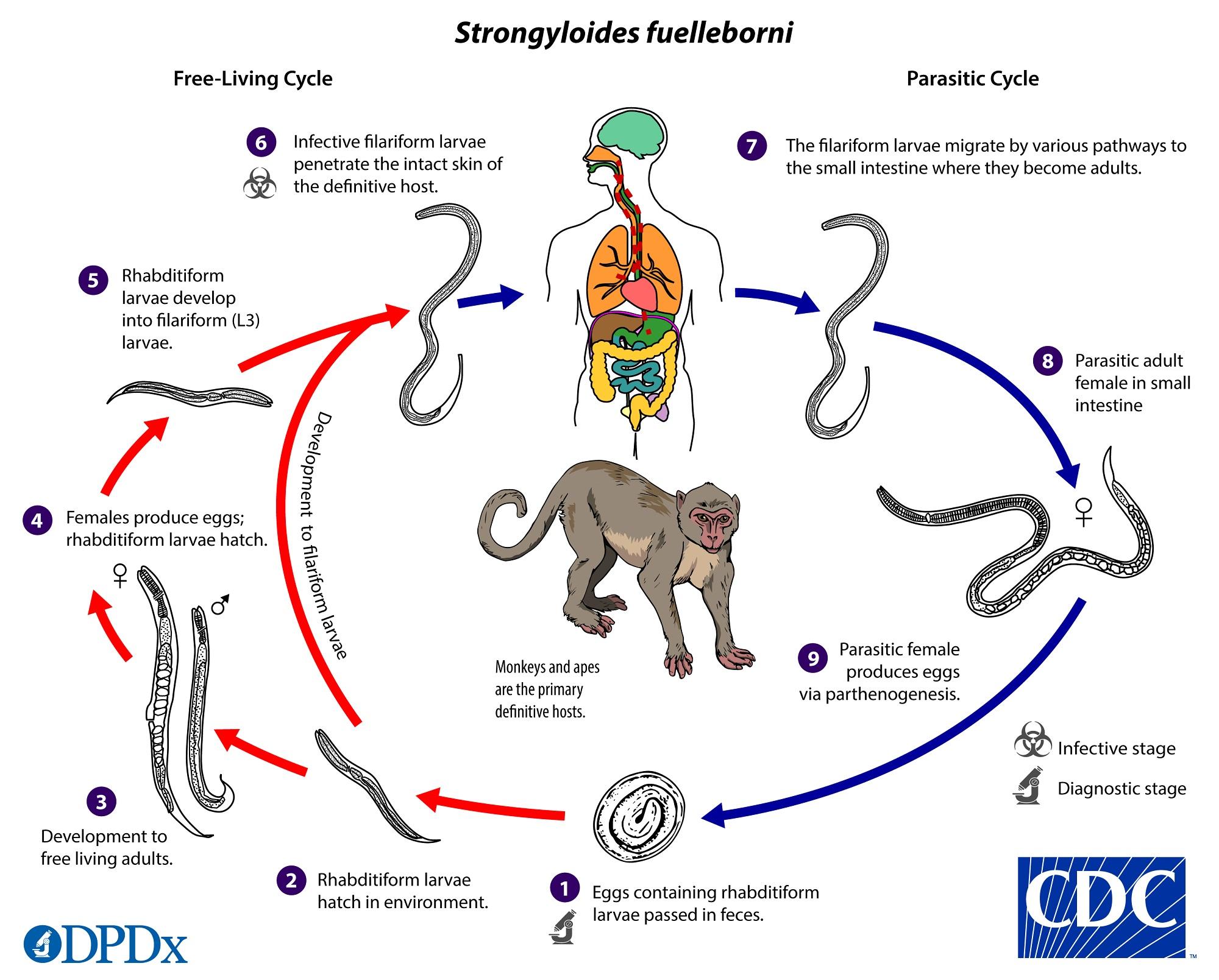 a strongyloidiasis terjed