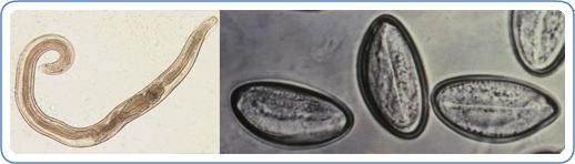 Emberi pinworm fejlődési ciklus