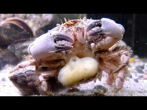 rák parazita sacculina