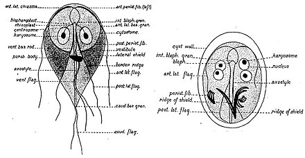 a körömféreg fejlődési ciklusának jellemzői