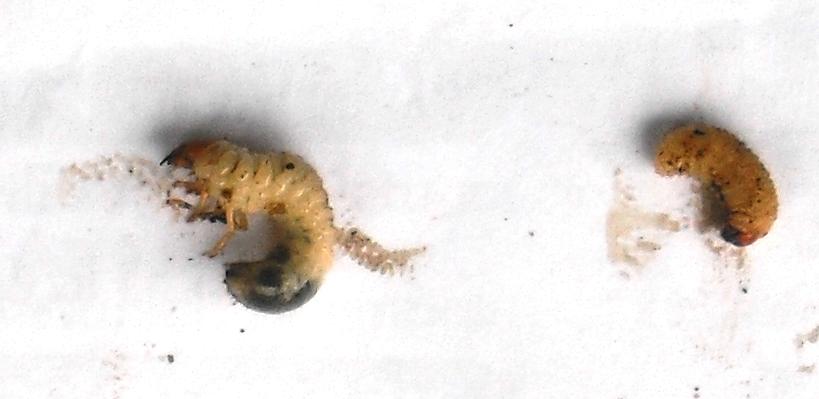 a parazitákat ürülékkel azonosítani)