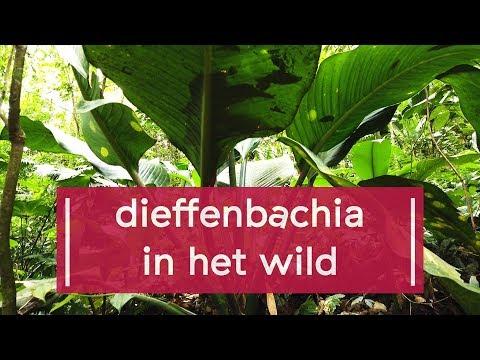 paraziták és dieffenbachia hízni paraziták