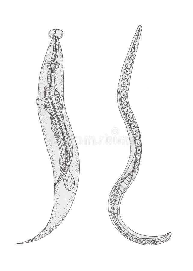 lehetséges- e a pinworm tojásokat forró gőzzel megölni sügér galandféreggel