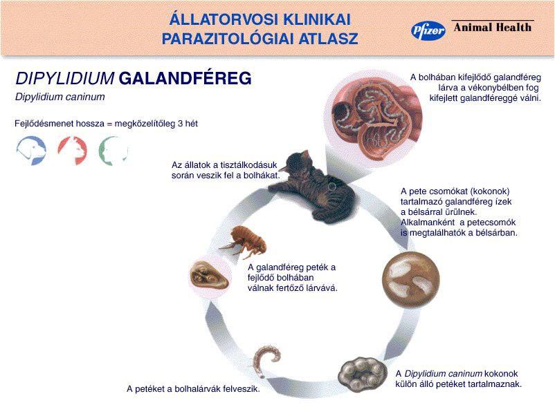 pinworm parazita hogyan lehet megszabadulni