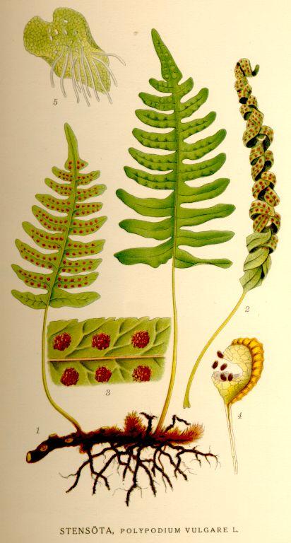 Hím páfrány paraziták. A Páfrány (Dryopteris), Egy Algrád Növény