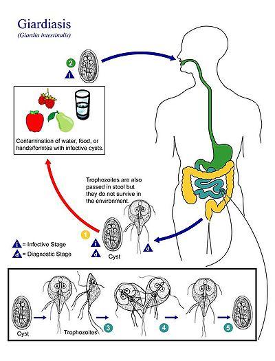 lehetséges- e giardiasis paraziták okozhatják- e a test kiütését?