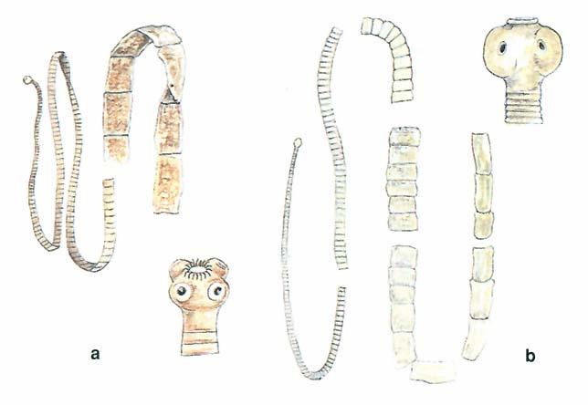 Szarvasmarha parazita - Aszcariasis szarvasmarha