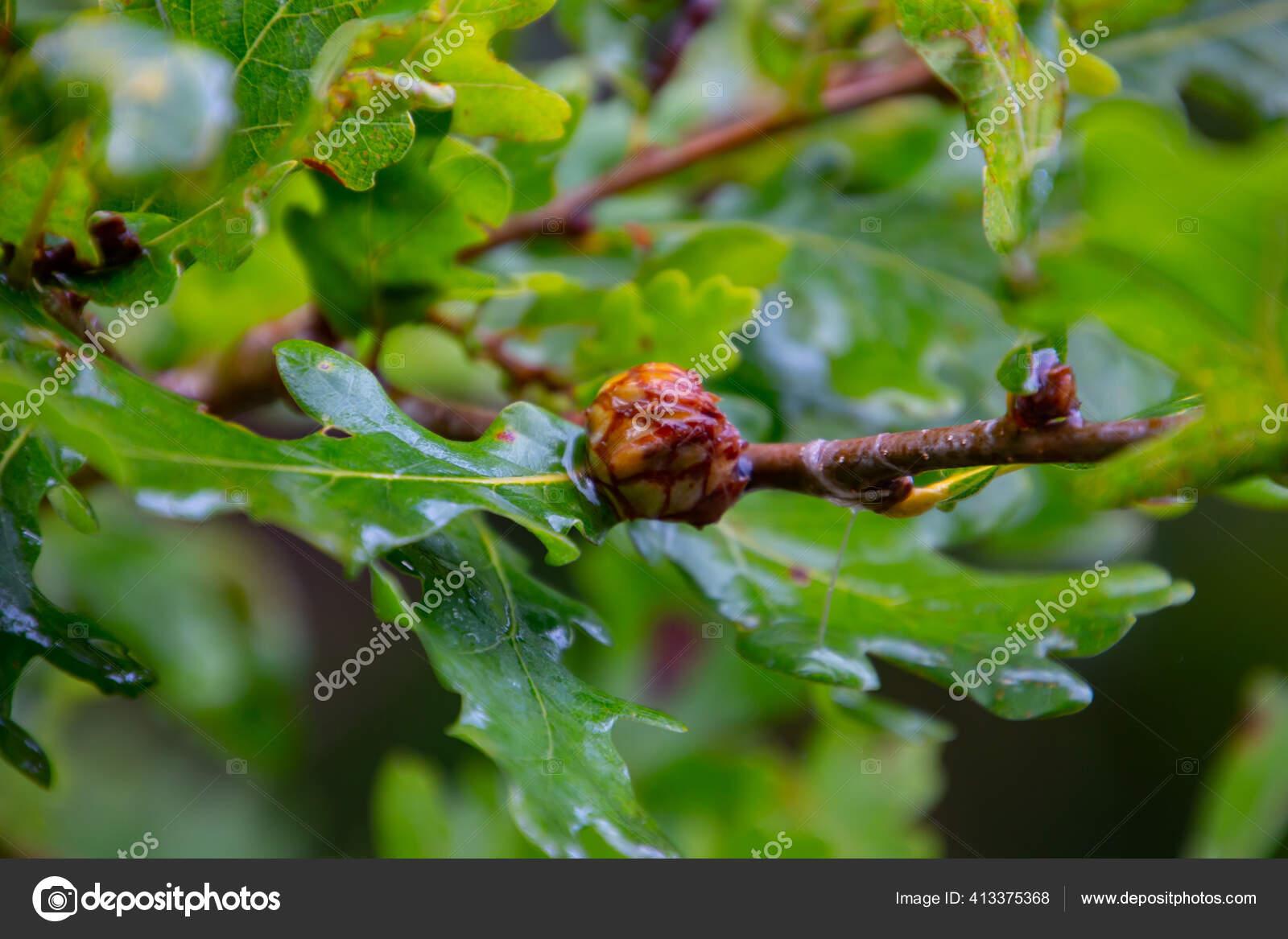 paraziták golyók a fákon paraziták születése