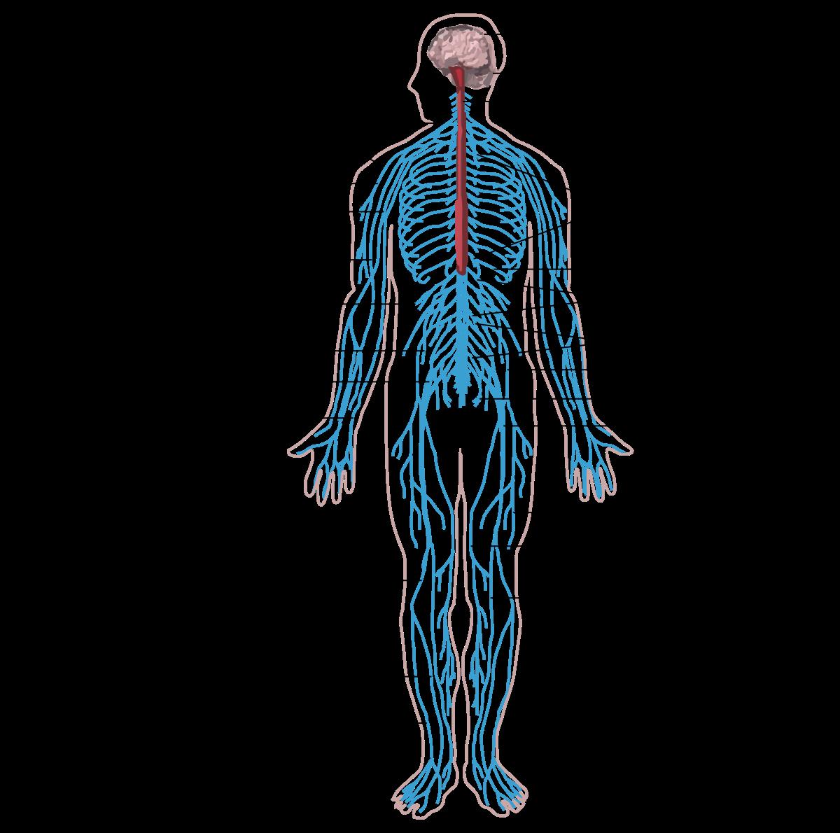 paraziták készítményei az emberi testben