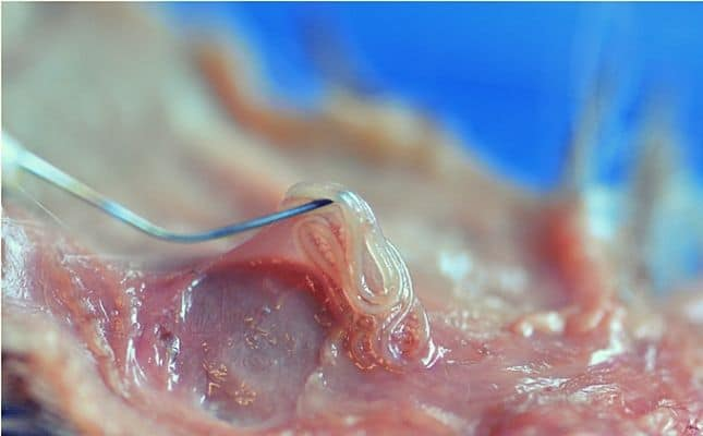 trópusi parazita