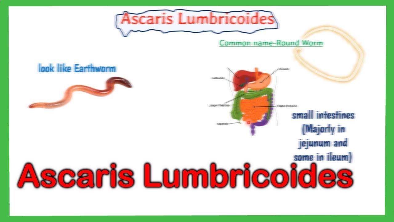 ascariasis lokalizációs helye