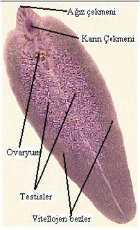 kerekféreg paraziták mi ez