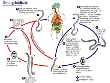 strongyloidosis lárva emberi paraziták a bőrön
