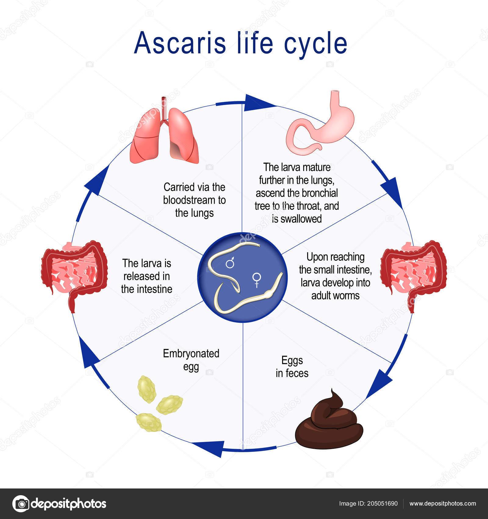 nevezze meg az emberi ascaris fertőzés módjait tisztítsa meg az egész testet a parazitáktól