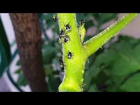 paraziták a puszpángon