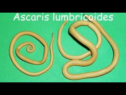 ascaris petesejt rossz lehelet betegség esetén