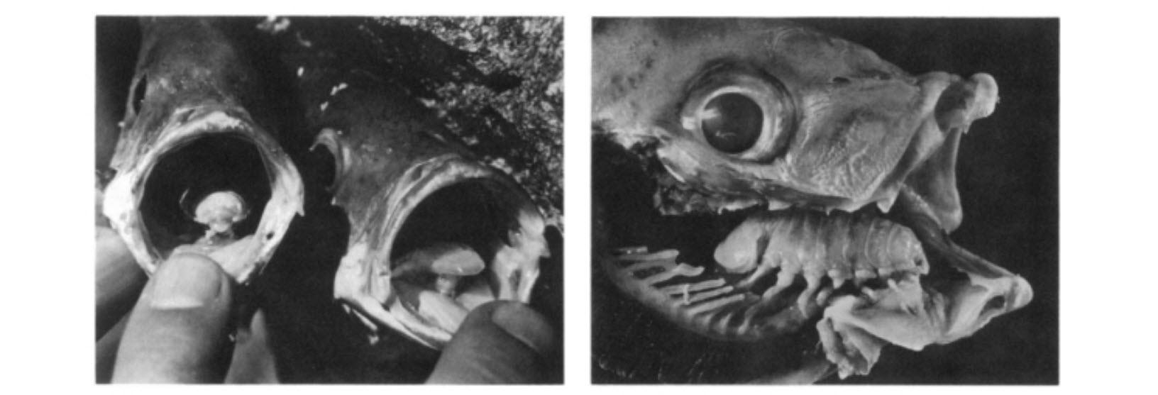 egy parazita, amely nyelv helyett hány parazita petesejt él