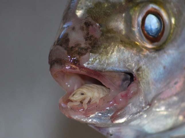 egy parazita, amely nyelv helyett galandférgesség az